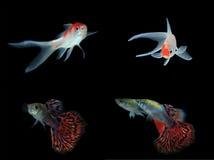 Set of gold fishs Stock Image