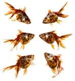 Set of goldfish Royalty Free Stock Photos