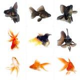 Set of Goldfish. Isolated on White Background Stock Image