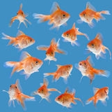 Set of goldfishes Royalty Free Stock Image
