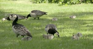 Set of goose and goslings on the grass 4K FS700 Odyssey 7Q stock video