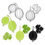 Set of gooseberry isolated on white background. Hand drawn vecto Royalty Free Stock Image
