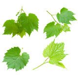 Set of grape leaves Stock Image