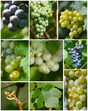 Set of grape photo Royalty Free Stock Images