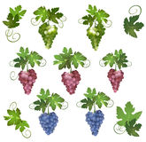 Set of  grapes with green leaves - vector Stock Image