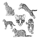 Set of graphic ocelot. Set of vector graphic ocelot royalty free illustration