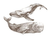 Set of Graphical hand painted whale isolated on white background. Vector illustration. Sperm whale and humpback whale. Whale water animal engraving illustration Royalty Free Stock Images