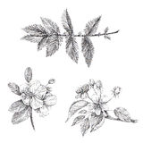 A set of graphics apple blossom branch Stock Images