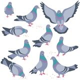 Set of Gray Doves in Motion. Set of rock doves isolated on white background. Bluish pigeons in moiton - walking, eating, flying. Simplified image of gray birds vector illustration