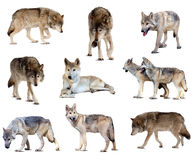 Set of gray wolves. Isolated  over white Stock Photography