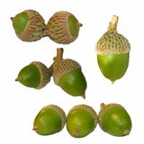 Set green acorn Stock Image