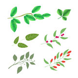 Set of  green brunches with leaves and berries, vector colorful illustration isolated. On white Royalty Free Stock Photo