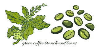 Set with green coffee branch with beans. Botanical drawing. Vector Royalty Free Stock Photo