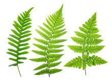 Set of green fern leaves Stock Photography