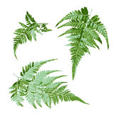 Set of green fern leaves, tropical plant vector illustration. Set of green fern leaves, tropical plant vector, illustration Royalty Free Stock Photography