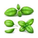 Set of Green Fresh Basil Leaves Close up Isolated Stock Image