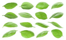 Set with green fresh basil leaves. On white background stock image