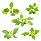 Set of green fresh sweet basil leafs isolated on white background Royalty Free Stock Photography