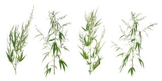 Set with green hemp plants. On white background stock photography