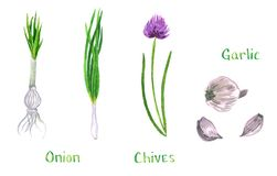 Set of green herbs, garlic, chives, onion, shalot, leek, scallion royalty free illustration