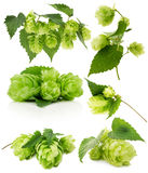 Set of green hops isolated on the white background Stock Photos