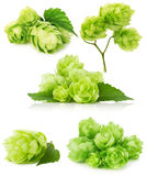 Set of green hops isolated on the white background Royalty Free Stock Photo