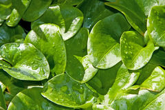 Set of green leaves with drops Stock Photography