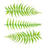 Set green leaves of fern. Hand drawn exotic greenery isolated on white background. Watercolor set green leaves of fern. Hand drawn exotic greenery isolated on Stock Photos