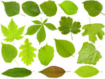 Set of Green Leaves Royalty Free Stock Photo