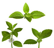 Set of green mint leaves Stock Images