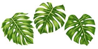Set of Green monstera tropical leaves isolated on white background, Digital illustation. Set of Green monstera tropical leaves isolated on white background stock illustration