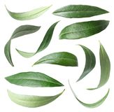 Set with green olive leaves. On white background royalty free stock photography