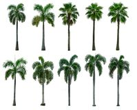 Green palm tree on white. Set of Green palm trees isolate on white background stock photo