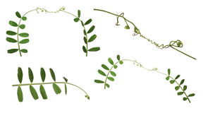 Set of green pea tendrils on white Stock Photos