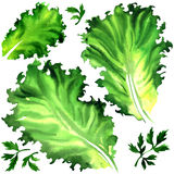 Set green salad leaf and parsley isolated. Watercolor painting on white background Stock Images