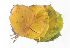 Set of green and yellow autumn leaves isolated on white Stock Images