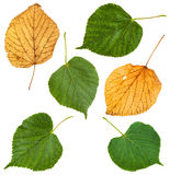 Set from green and yellow leaves of lime tree Royalty Free Stock Photo