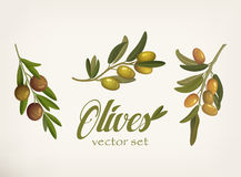 Set of green and yellow olive branches with leaves and berries with blacks. Raw vegetarian food and cosmetic  Royalty Free Stock Photo