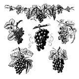 Set grona winogrona ilustracji