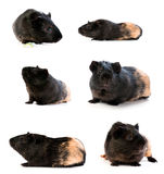 Set of guinea pigs Stock Images