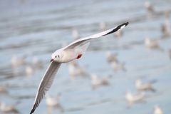 The Gulls is flying. Seagulls fly over the sea Stock Image
