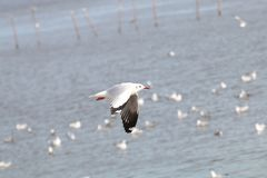The Gulls is flying. Seagulls fly over the sea. Set of the Gulls is flying. Seagulls fly over the sea Stock Photos