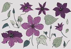 Set of hand drawn beautiful clematis flowers Stock Image