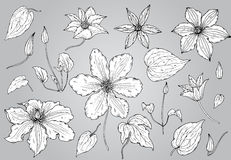 Set of hand drawn clematis flowers Stock Photo