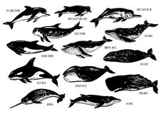 Set of hand drawn dolphins and whales. Bottlenose dolphin, harbour porpoise, ganges river, Risso's, blue, humpback, killer, gray, bowhead, fin, sperm whales Royalty Free Stock Photography