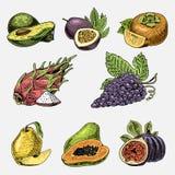 Set of hand drawn, engraved fresh fruits, vegetarian food, plants, vintage grape, papaya, pitaya or dragon fruit royalty free illustration