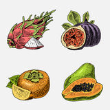 Set of hand drawn, engraved fresh fruits, vegetarian food, plants, vintage looking common fig, persimmons and pitaya Royalty Free Stock Photos
