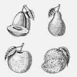Set of hand drawn, engraved fresh fruits, vegetarian food, plants, vintage looking green apple, orange and pear, plum. Set of hand drawn, engraved fresh fruits Stock Photos