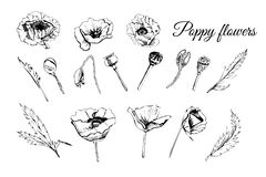 Set hand drawn graphic sketch of poppy flowers, buds and leaves isolated on white background. Vector illustration stock illustration