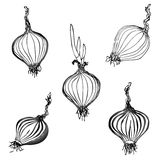 Set of hand drawn onion images Stock Photos
